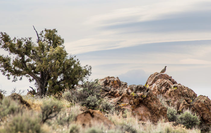 Wild Nevada Chuckar photography